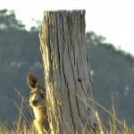 interfaceaustraliaP1650355-felt-kangaroo behind post