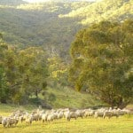 interfaceaustraliaP1940357-testimonials-sheep in valley