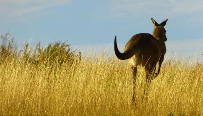 interfaceaustraliaP2160443-australian made-kangaroo running in tall grass-700x400