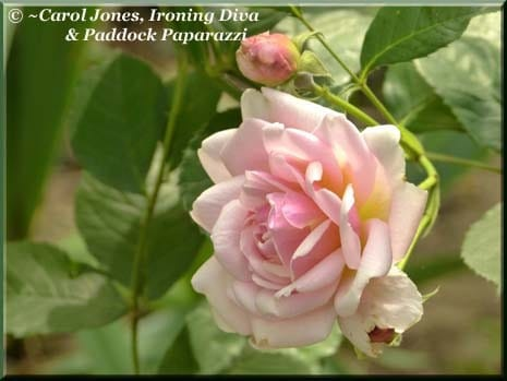 Ironing-Diva-Felicia-Rose-2015-November-27-465x349