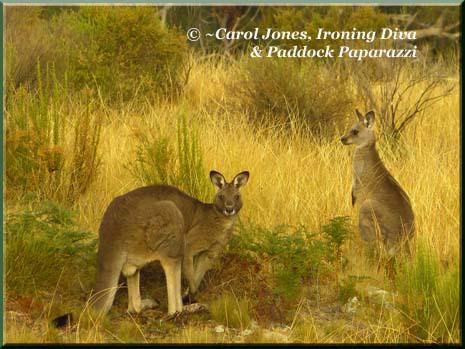 Ironing Diva Kangaroos Two