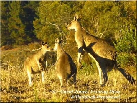 Ironing Diva Love Letters #4 P1690725 Kangaroos 2016 January 29