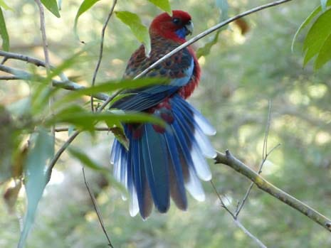 Our Story Chapter 13 P1310329 Crimson Rosella Tail Feathers 465 x 359
