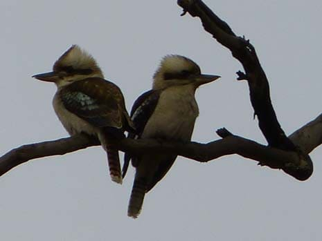 Our Story Chapter 6 P2260795 Kookaburras 465 x 349
