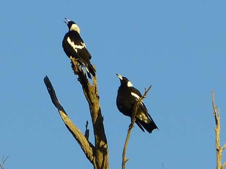 Our Story Chapter 6 P2270611 Magpies 465 x 349