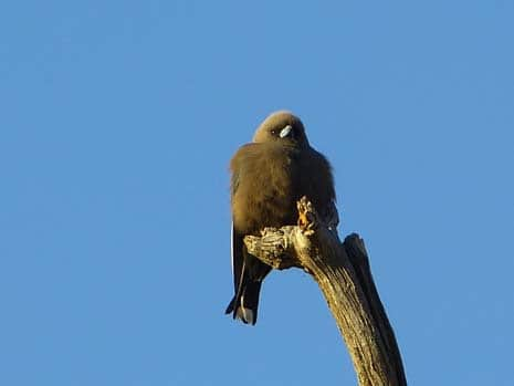Our Story Chapter 6 P2300622 Dusky Woodswallow 465 x 349