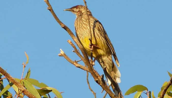 Our Story Chapter 7 P1330213 Red Wattlebird 700 x 400