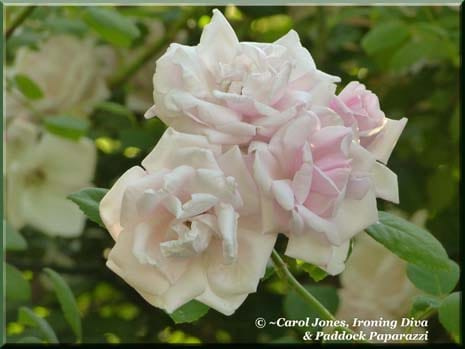 Love Letters From #9 - Anne. Rosa New Dawn. 465 x 349
