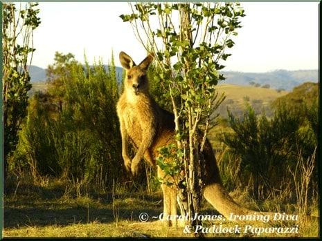 Ironing-Diva-11-Kangaroos-At-Poplars