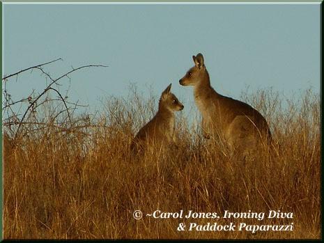 Ironing-Diva-2-Kangaroos-x-2