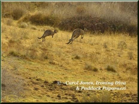 Ironing-Diva-6-Kangaroos-Hopping