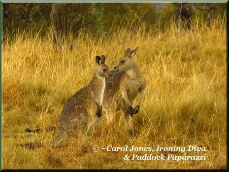 Ironing-Diva-7-Kangaroos-Cuddling