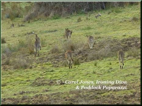 Ironing-Diva-9-Kangaroos-Hopping