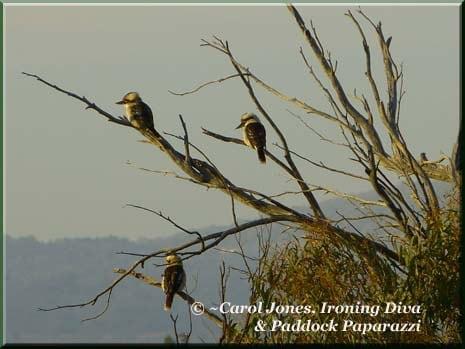 Ironing-Diva-Kookaburras
