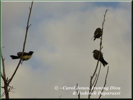 Ironing-Diva-Willie-Wagtail-Dusky-Woodswallows