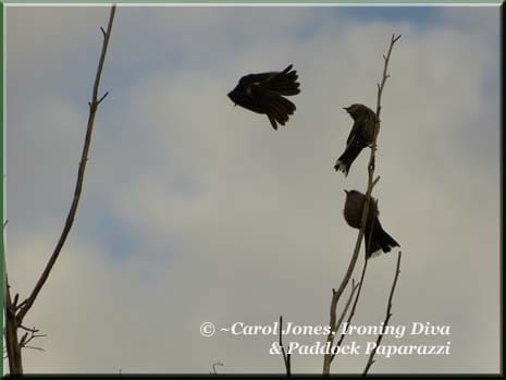 Ironing-Diva-Willie-Wagtail-In-Flight-Dusky-Woodswallows