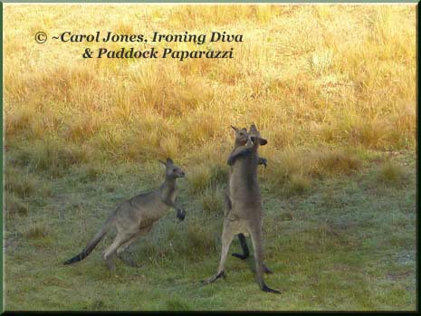 Ironing Diva Metro Pro 027 P1400318 Kangaroos Boxing