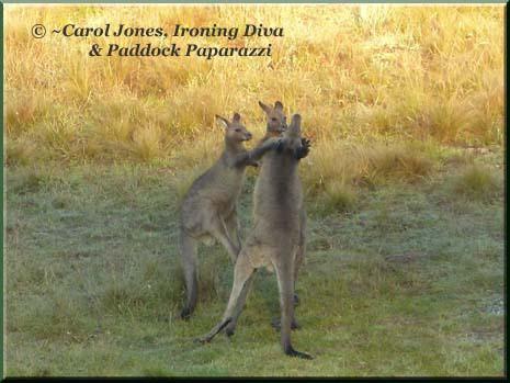 Ironing Diva Metro Pro 027 P1400319 Kangaroos Boxing