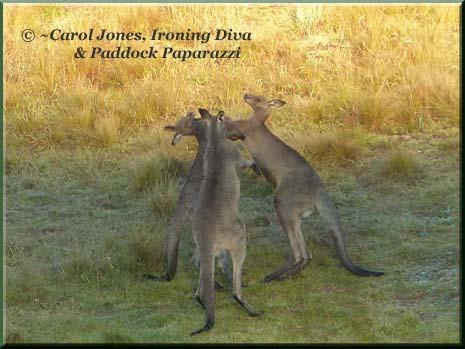 Ironing Diva Metro Pro 027 P1400324 Kangaroos Boxing