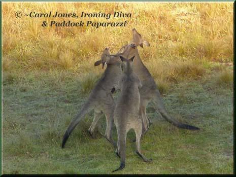 Ironing Diva Metro Pro 027 P1400325 Boxing Kangaroos