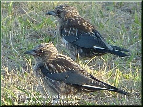 Ironing Diva Metro Pro 028 P1300532 Dusky Woodswallow Fledglings
