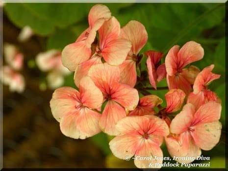 Ironing Diva Metro Pro Love Letters 014 - Catherine. Salmon Flowers Of Common Geranium 465 x 349