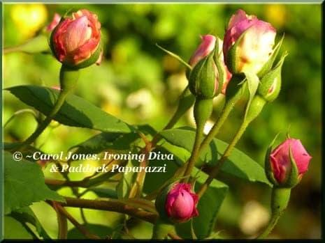 Ironing Diva Metro Pro Love Letters #12 - Sylvia. Mrs Fred Danks Rose. 2015