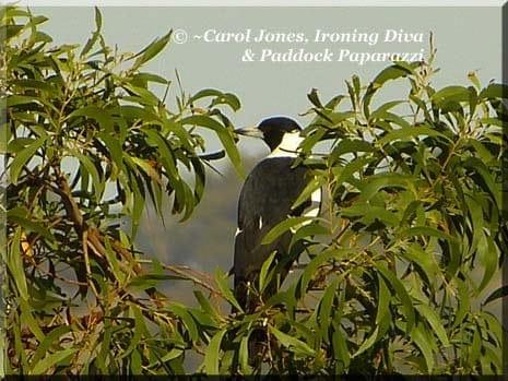 Ironing Diva Metro Pro 031 P2460047 Magpie In Tree Canopy
