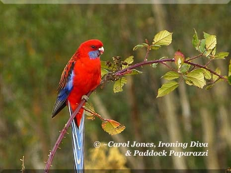 Ironing Diva Metro Pro 032 P2470107 Crimson Rosella