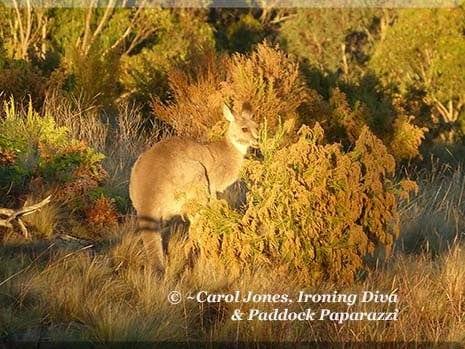 Ironing Diva Metro Pro 033 P1400935 Kangaroo Sun Trap