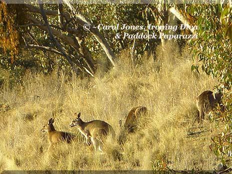 Ironing Diva Metro Pro 033 P1520716 Kangaroo Mob