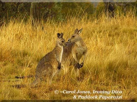 Ironing Diva Metro Pro 033 P1540585 Kangaroos Nose To Nose