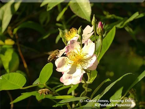 Ironing Diva Metro Pro Love Letters 015 - Ailsa. Bees On Rosa Francis E Lester.