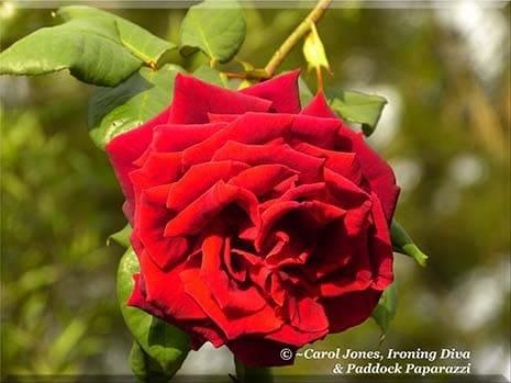 Ironing Diva Metro Pro Love Letters 016 Papa Meilland Rose