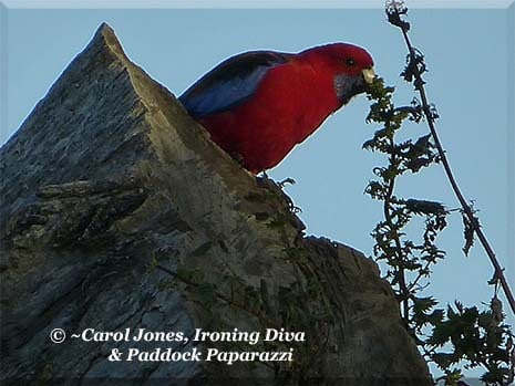 Ironing Diva Metro Pro 038 A Crimson Rosella Has Breakfast. On The Rocks