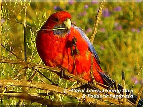 Ironing Diva Metro Pro 038 A Crimson Rosella In The Paddocks. With A Grass Seed For Breakfast.