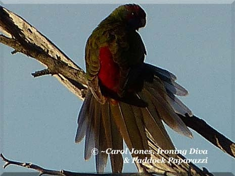 Ironing Diva Metro Pro 038 P1110457 Juvenile Crimson Rosella's Tail Feathers