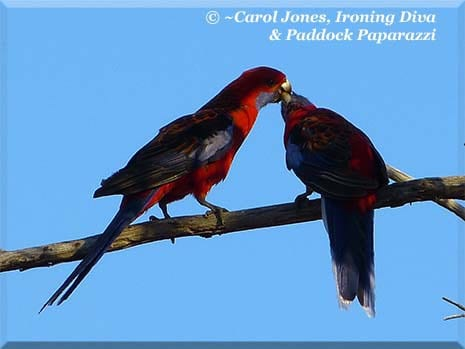 Ironing Diva Metro Pro 038 P1680647 Crimson Rosellas Feeding