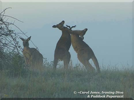 Ironing Diva Metro Pro 042 Boxing Kangaroos. Misty Early Light.