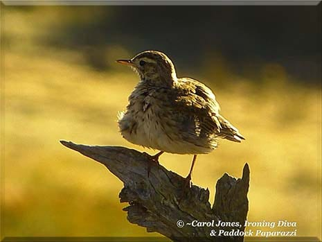 Ironing Diva Metro Pro Love Letters #20 A Brown Songlark. All Aglow In The Rising Sun.