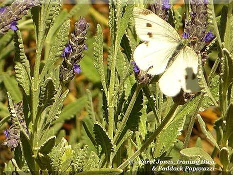 Ironing Diva Love Letters #29 Butterfly On Lavender. 2016 July 23