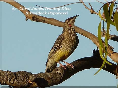 Ironing Diva Metro Pro 053 P1350905 2013 Red Wattlebird 2016 July 10