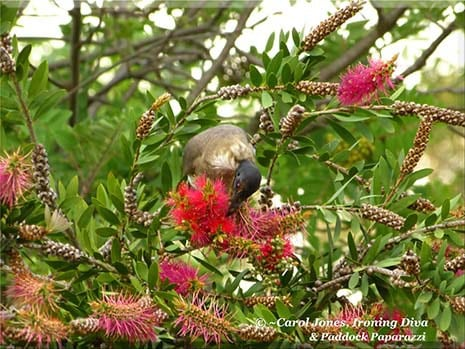 Ironing Diva Metro Pro 055 A Friarbird Sucks Delicious Nectar From My Bottlebrush This Morning 2016 July 12