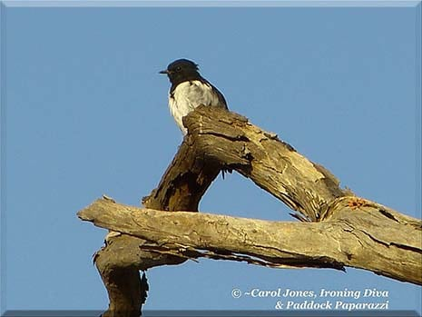 Ironing Diva Metro Pro 056 A Hooded Robin. On His Perch. Taking Seriously 'Lookout' Duty. 2016 July 13