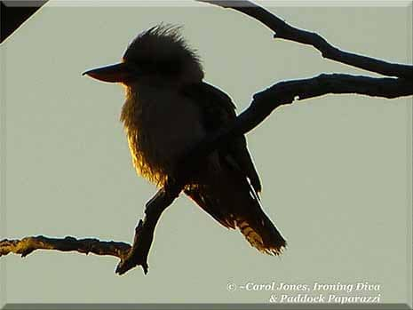 Ironing Diva Metro Pro 058 A Laughing Kookaburra. Illuminated By The Rising Sun. 2016 July 19