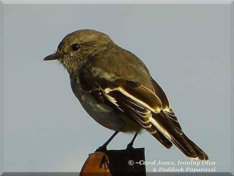 Ironing Diva Metro Pro 058 A Little Princess. A Young Female Hooded Robin. 2016 July 19
