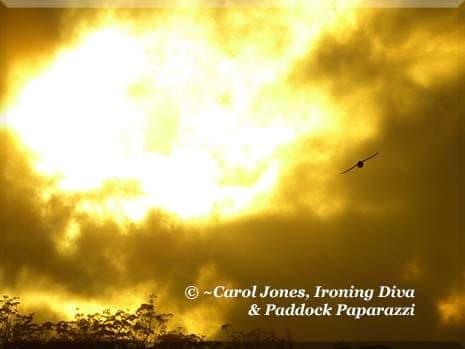 Ironing Diva Metro Pro 059 A Magpie Flies Into This Morning's Sunburst. 2016 July 20