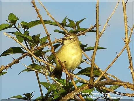 Ironing Diva Metro Pro 061 A New Bird In My Wildlife Sanctuary. A Yellow Thornbill. 2016 July 25
