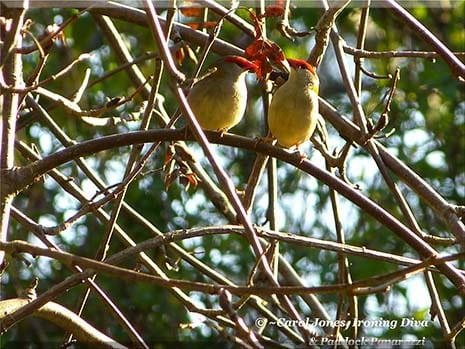 Ironing Diva Metro Pro 064 A Pair Of Red Browed Firetails Frolic In My Sorbus Tree In The Morning Sunshine 2016 July 30