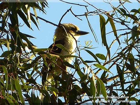 Ironing Diva Metro Pro Love Letters #27 A Kookaburra In A Eucalyptus Yellowbox 2016 July 15